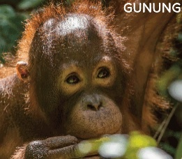 Our sponsored orangutan, Gunung is doing well!
