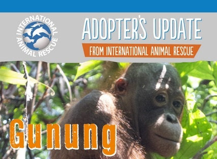 Gunung's latest update from International Animal Rescue Centre